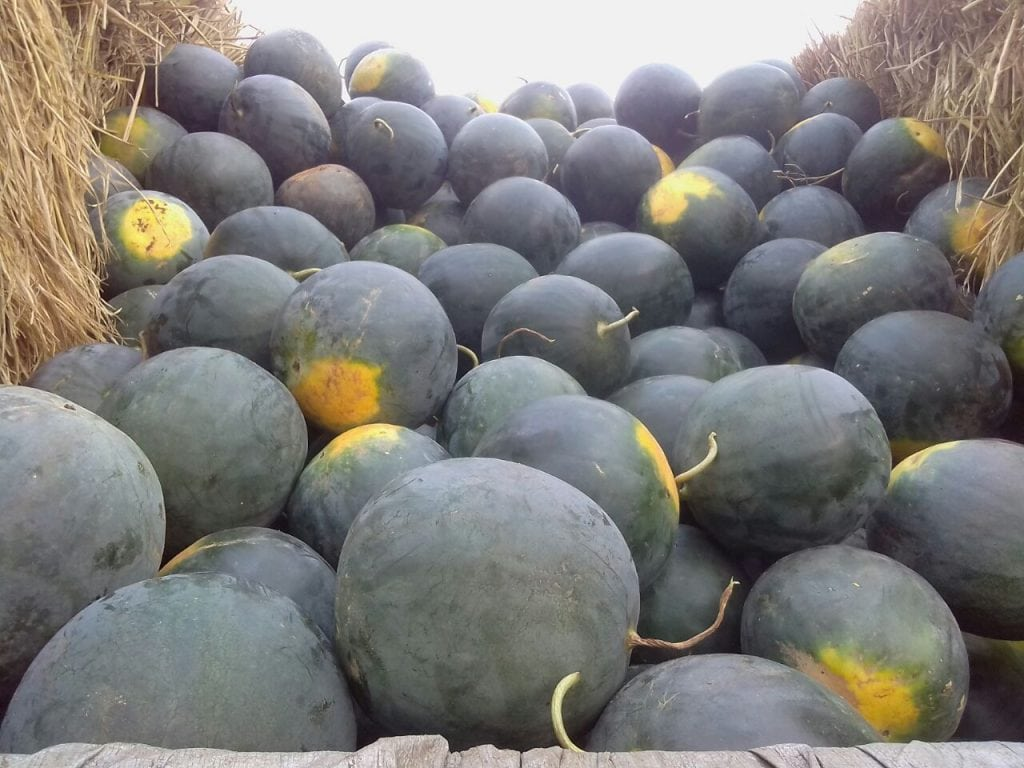 Copy of Copy of Bumper summer harvest of watermelon in Odisha made possible through drip mulching technologies along with solar-based lift irrigation