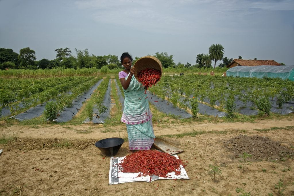 Copy of Copy of Santhal Paraganas in Jharkhand emerging as chilli production hub